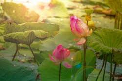 Lotus flower concept. Pink water lily flower in pond after raining and water drop on leaf and lens flare. Beautiful lobe waterlily on morning, lotus leaf tree genus of aquatic plants showy flowers.
