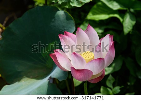 Free Photos Lotus Flower Full Blossom In An Early Morning The