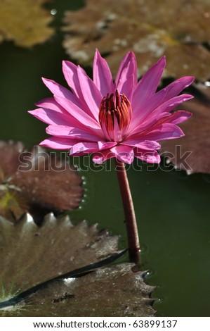 lotus flower in Bali