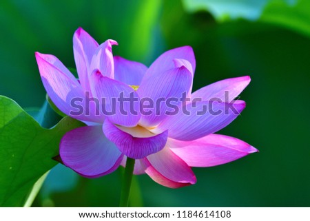 Lotus flower in full bloom shining in the sunlight filtering through trees