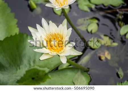 Lotus flower in pond ez canvas lotus flower in pond mightylinksfo