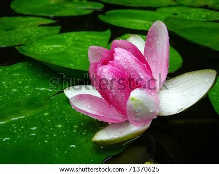 stock photo Lotus flower in the dew