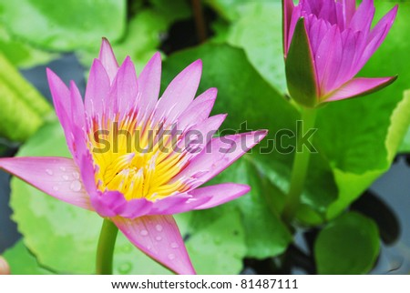 Lotus flower is growing in the temple - stock photo