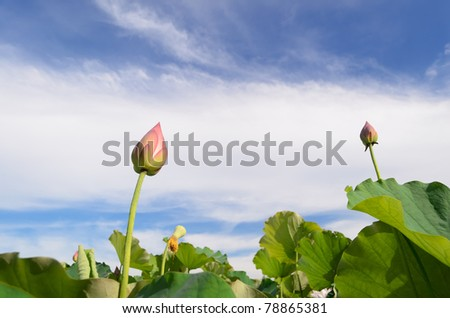 Lotus flower, low angle landscape of nature flora in outdoor with pink and green color in summer.