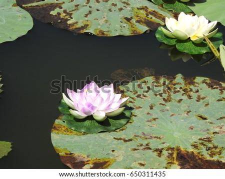 lotus flower, nelumbo nucifera, also called as sacred lotus