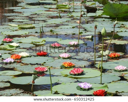lotus flower, nelumbo nucifera, also called as sacred lotus with bud and seed pod