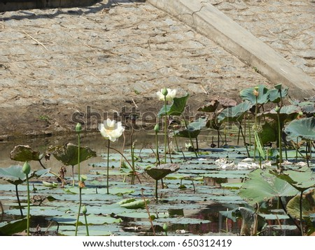 lotus flower, nelumbo nucifera, also called as sacred lotus with seed pod