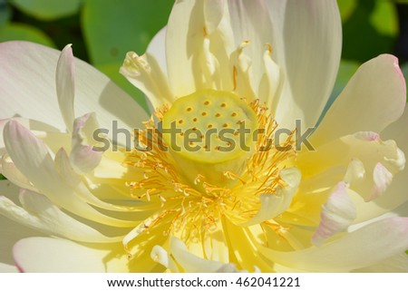 Free photos lotus flower in bloom nelumbo nucifera is botanical lotus flower nelumbo nucifera known by a number of names including indian lotus mightylinksfo