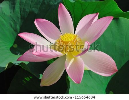 Lotus flower (Nelumbo) - The Rose of India