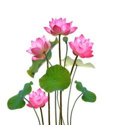Lotus flower on white background.