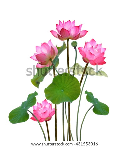 Lotus flower on white background.