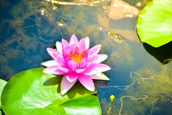 Lotus flower or beautiful waterlily ,Beautiful, tranquil reflection of the flowers in the slate blue pond water.