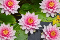 Lotus flower or pink water lily on the pond