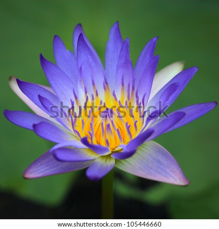 Lotus flower or water lilly