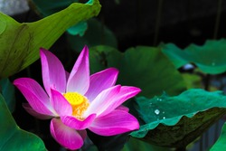 Lotus flower or water lily flower on the pond,Images for wallpaper,background