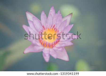 Lotus flower or water lily With small pink petals Blossoming in the daytime There is a green lotus leaf floating on the water. Gayson's lotus flowers are yellow. #1319341199
