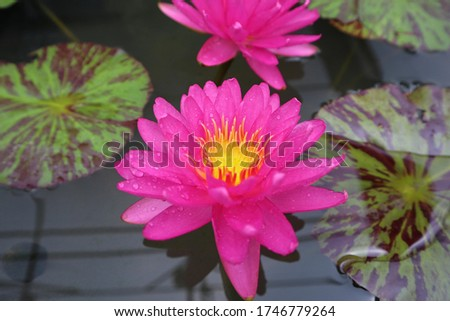 Lotus Flower or Waterlily.   Brachyceras Waterlily (Tropical Day Blooming). NYMPHAEACEAE. Colorful lotus flower. `Bangkok Pink Panther`. tropical waterlily. At Queen sirikit botanic garden.