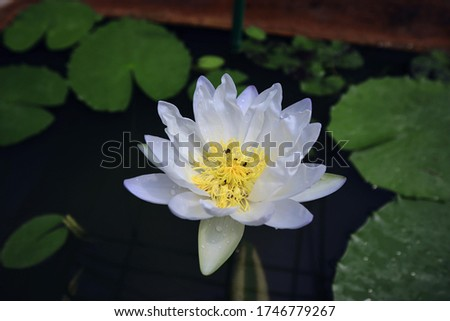 Lotus Flower or Waterlily.   Brachyceras Waterlily (Tropical Day Blooming). NYMPHAEACEAE. Colorful lotus flower. Albert de Lestang. tropical waterlily. At Queen sirikit botanic garden. Thailand.