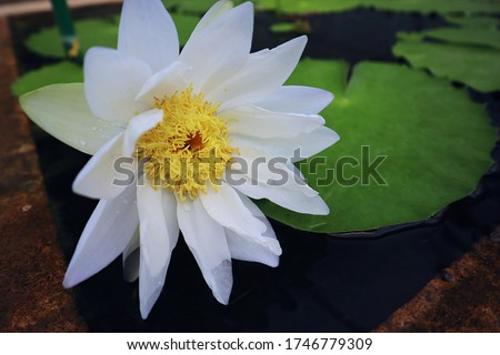 Lotus Flower or Waterlily.   Brachyceras Waterlily (Tropical Day Blooming). NYMPHAEACEAE. Colorful lotus flower. Albert de Lestang. tropical waterlily. At Queen sirikit botanic garden, Thailand.