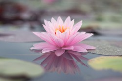 lotus flower select focus blur