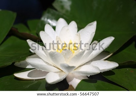 lotus flower surrounded by leaves, side view