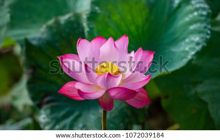 Lotus flower. The background is the pink lotus flowers and yellow lotus bud in a pond. Viet Nam. Peace scene in a countryside, Vietnam