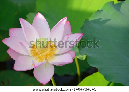 Lotus Flowers So Beautiful In The Pond Images And Stock Photos