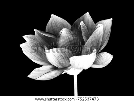 lotus flower white and black isolated on white background