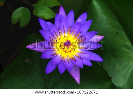 Lotus flower with deep purple and yellow colors