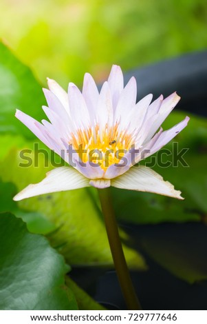 Lotus flowers blooming on the pond in summer #729777646