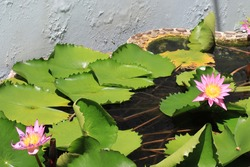 Lotus flowers in the pond surrounded by green lotus leaves.