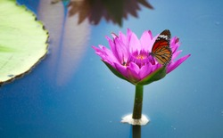 lotus flowers or water lily flower