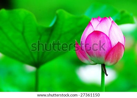 Lotus for conceptual photo - stock photo