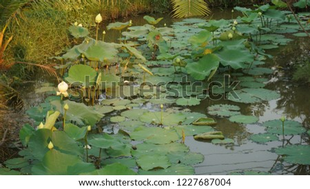 Lotus in a pond #1227687004