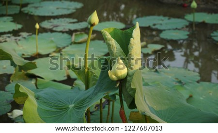 Lotus in a pond #1227687013