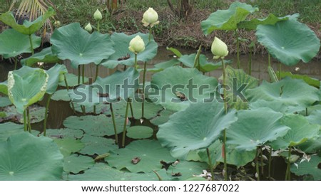Lotus in a pond #1227687022