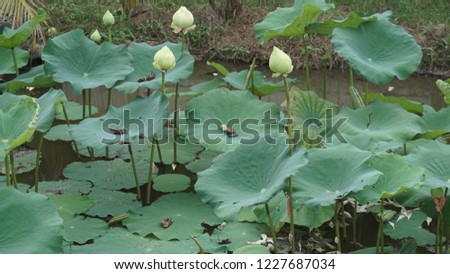 Lotus in a pond #1227687034