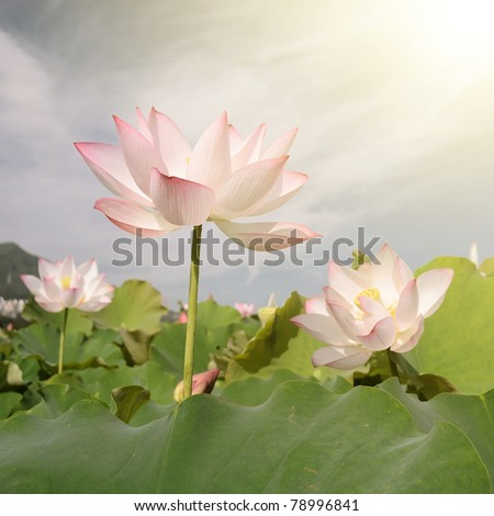 Lotus in pink with green farm under blue sky, landscape of nelumbo nucifera in outdoor.