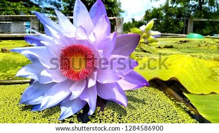 Lotus in Rajamangala University of Technology Tawan-ok