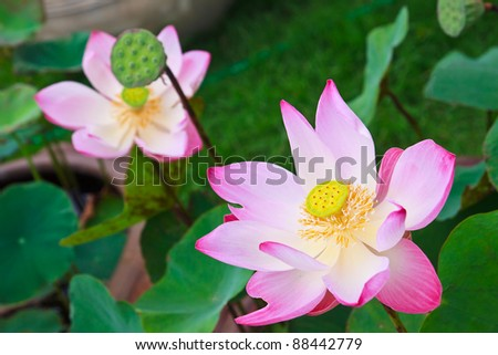 lotus in the pool as background and object - stock photo