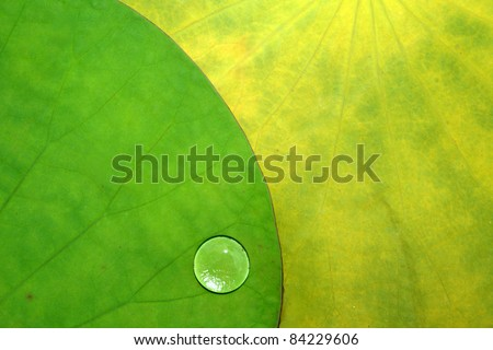 Lotus leaves and a water drop