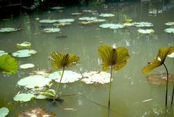 Lotus leaves and water lily leaves in green water. Small pond with aquatic plant. Leaves of aquatic plant in green pond.