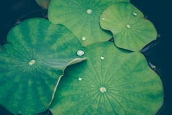 Lotus leaves with drops of water. Oriental garden. Natural exotic background.  Dark toning, selective focus