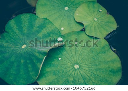Lotus leaves with drops of water. Oriental garden. Natural exotic background.  Dark toning, selective focus #1045752166