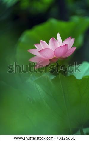 lotus, Lotus Blossom