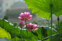 Lotus: Lous flower with Background is the lotus leaf and lotus bud and lotus flower and tree,