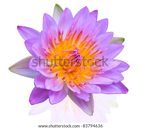lotus on isolate background