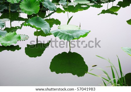 lotus on the calm lake