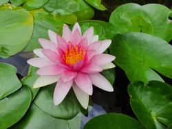 lotus or water lily in pond