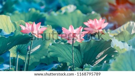 Lotus Or